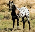 Wie viele Pferderassen gibt es?
