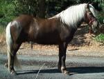 Für welche Arbeit wurden die Shetland-Ponys im 18. Jahrhundert oft benutzt?