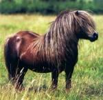 Was ist das Idealgewicht eines Shetland Ponys?