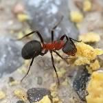 Das Nest der Roten Waldameise liegt zum größten Teil unter der Erde. Wieviel Ameisen können in einem Volk leben?
