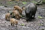 Wie werden junge Wildschweine genannt?