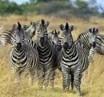 Zebras kann man auch reiten.