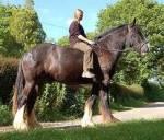 Shirehorses sind die größten Pferde der Welt.