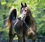 Du darfst dir jetzt eine Pferderasse aussuchen, aber: Welche nimmst du?
