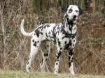 Diese kroatische Hunderasse ist sehr auffällig. Aber wie heißt sie?