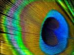 Wozu dienen die Augen an den Federn eines Pfaues?