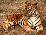 Tigerquiz