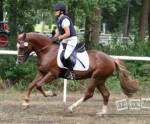 Welche Pferderasse ist eine beliebte Rasse für Reitanfänger?