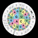 Bilde einen codogenen DNA-Strang zur AminosäureketteMet-Ala-Pro-Trp-Gyl-His. Nutze dazu die Code-Sonne.