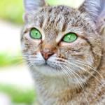 DIE STERNENCLAN KATZENNussauge: hellbraun getigerte Katze mit grünen Augen; überbrachte Prophezeiung an Habichtpfote und HasenohrBuchenpelz: dunkelb