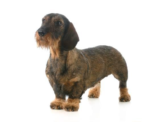 Big Scruffy Dog Breeds