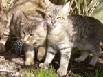 """((cur))aus Blutmonds Sicht((ecur)) Im Lager angekommen, erzählte ich allen von meiner Idee. """"Also... Ich habe vor, mich bei den City Cats ein zu"""