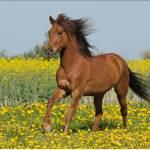 Es gibt dunkelbraune Pferde mit einer reinweißen Mähne.