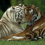 Hier werden die Gefährten aufgelistet ;) Shadow & Crasy Twillight & Sky Und das hier sind die freien Tiger. Tigerinnen: Sandsturm Dreiherz (darf als