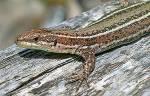 ((bold))Schlangen ((ebold)) ((red)) ACHTUNG! ((cur)) Namen wie zB. ((maroon)) Phytonschweif, Anakondazahn ((emaroon)) oder ((maroon)) Boaschuppe ((ema