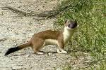 ((bold))Fledermäuse, Marder&co.:((ebold)) Fledermaus- Fleder- Igel- Flughund- Marder- Otter- Iltis- Wiesel- Hermelin- Dachs- Waschbären- Flug- -fled