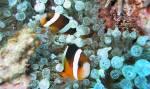 Sind die Clarks Anemonenfische gute Schwimmer?