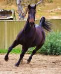 Nabucco ein Mustang