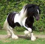 Elenas Pferd Name: Black Rainbow (Wird aber nur Black genannt) Spitzname: Blacky Rasse: Tinker Alter: 9 J. 11 M. Aussehen: großer, Rappschecke Hengst