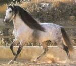 Toms Pferd Name: Alpha (ein Weibchen) Rasse: Hannoveraner Alter: 7 Jahre Aussehen: Apfelschimmel, etwas kleiner als Sabato Charakter: merkt ihr Fähig