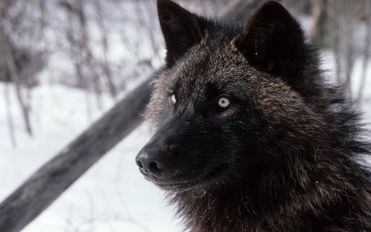 Auge In Auge Mit Dem Wolf Rpg