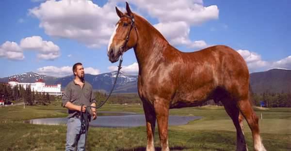 Grösstes Pferd Der Welt