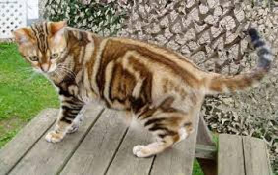 Tiger Kralle