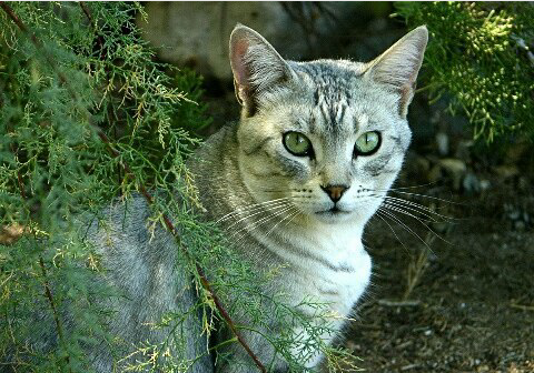 Blue Cats Green Eyes Outside