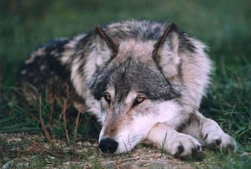 Wolfsrudel Ränge