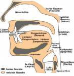 Was sind Labiae, Dente und Alveolen? (Nicht auf das Bild gucken wenn du Serious about life bist bro) Welche Artikulationsorte sind das?