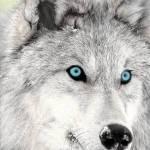 Wie viel Wolf steckt in dir?