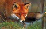 Rotfüchse suchen (wenn es notwendig ist) aus der Mülltonne.