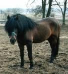 """((bold))((unli))((cur))Huzule((ebold))((eunli))((ecur)): Der Huzule (auch Altösterreichischer Huzule) ist eine Ponyrasse und stammt aus der """"Huzule"""