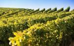 Die((bold)) Weinstöcke((ebold)) liegen auf dem Gebiet de MondClans. Die Weinstöcke sind zwar ein geschützter Platz, doch außer ein paar Mäusen, s