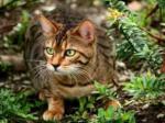 Katzen des Wildclans