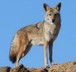 Kojotenherz(Kojote): Der Krieger