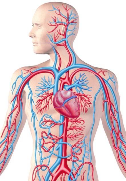 Biologiefragen zum Herzkreislauf