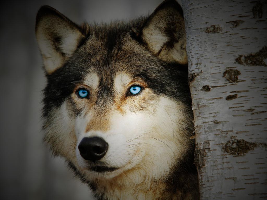 Brown Eyed Dog Green Eyd Dog Blue Eyed Dog