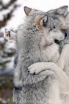 Rpg-Wolf. So siehst du aus!