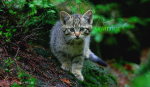 ((unli))Clanlose((eunli)) ((unli))Katzen außerhalb der Clans((eunli)) ((cur)) MIKUSCH-((ecur)) schwarz-weißer Kater;lebt an einem Bauernhof nahe am