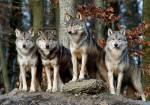 ((unli))Die Hierarchie ((eunli)) ((unli))ALPHA:((eunli)) ((bold))((green))VENTO((egreen)) -((ebold)) graubrauner Wolf mit weißem Bauch, weißen Schna