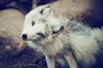 Wolf-Path