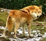 Kaya... Eine schöne, orange Wölfin, aber jetzt ist sehr schüchtern und zurückhaltend, weil sie von Daniel gedeckt wurde. Die arme Kaya.: c