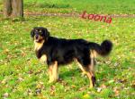 Hallo noch mal. Ich bin Loona, und das ist das Rudel: Name: Loona Alter: 3 Jahre Geschlecht: weiblich Rasse: Hovawart (schwarz mit braun, ihr könnt d