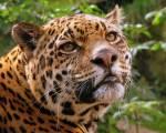 ((bold))Namen nach Raubkatzen((ebold)) Puma- Tiger- Löwen- Berglöwen- Leoparden- Schneeleoparden- Luchs- Geparden - Liga- Jaguar- Nebelparder- Panth