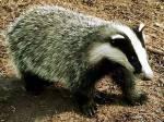 ((bold))StreifenClan((ebold))( ((cur))böser Clan((ecur)))( DachsClan): Anführer: Streifenstern- bulliger Dachs der auf einem Auge Blind ist und übe