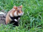 ((bold))WühlClan((ebold))( Hamster und Mäuse Clan) Anführer: Wühlstern- etwas größere Feldhamster Weibchen mit blauen Augen 2 Anführer/in: Gold