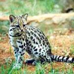 Das Krallenrudel Die Katzen dieses Rudels sind mittelgroß, flink, und haben die längsten, schärfsten Krallen im ganzen Reservat, mit denen sie soga