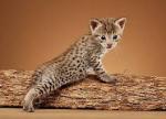 ((bold))Das Flussrudel((ebold)) Flussrudel-Katzen haben sehr glattes, dunkles, einfarbiges Fell und einen sehr schnittigen, schlanken Körperbau. Sie