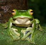 Wer kennt sie nicht? Ein grüner Frosch!